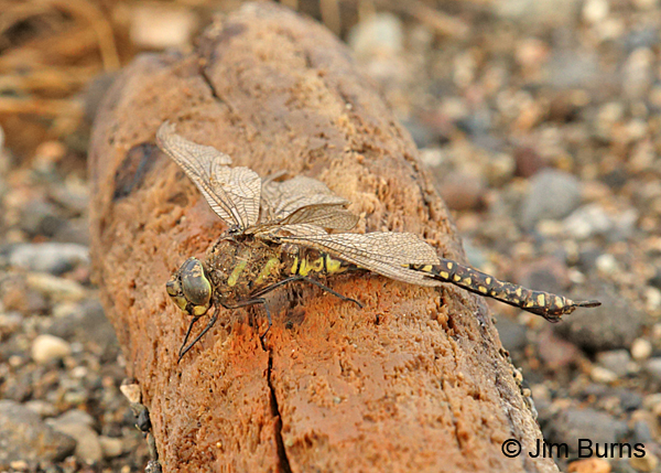 Sedge Darner heteromorph female, old and found dying on the beach, Lake and Peninsula Co., AK, August 2016