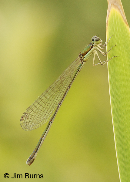 Sedge Sprite  female showing no blue on abdomen, Washington Co., VT, July 2014