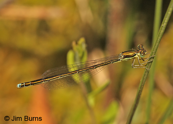 Sedge Sprite immature female, Oneida Co., WI, June 2014