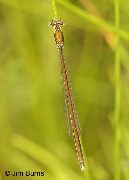 Sedge Sprite immature female dorsal view, Washington Co., VT, July 2014