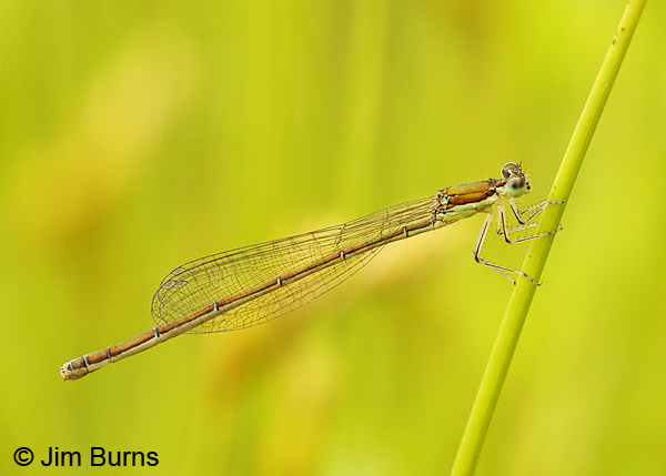 Sedge Sprite immature female, Washington Co., VT, July 2014