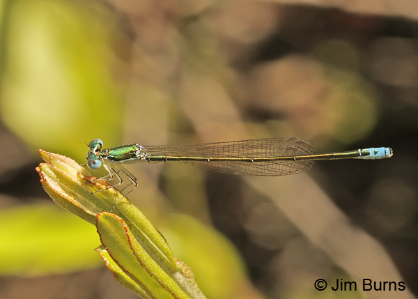 Sedge Sprite male, Oneida Co., WI, June 2014