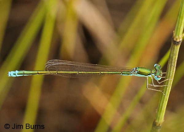 Sedge Sprite male, Washington Co., VT, July 2014