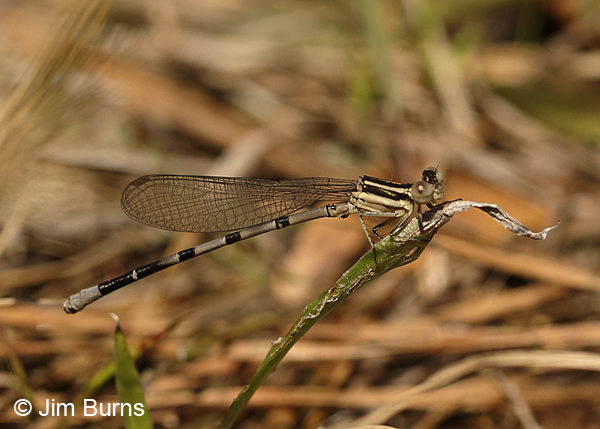 Seepage Dancer teneral male, Santa Rosa Co., FL, March 2016