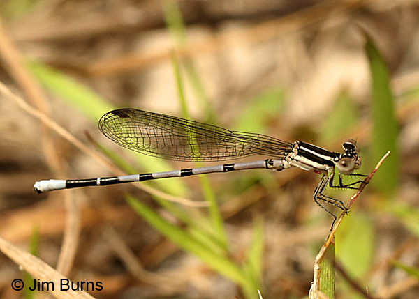 Seepage Dancer immature male, Baldwin Co., AL, March 2017