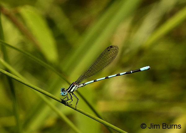 Seepage Dancer male #2, Sharp Co., AR, June 2016