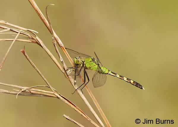 Seepage Dancer teneral female being eaten by female Eastern Pondhawk, Angelina Co., TX, March 2013