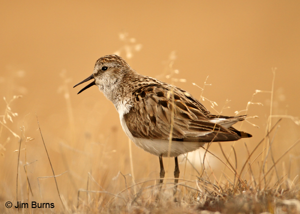Semipalmated Sandpiper alternate plumage calling on tundra