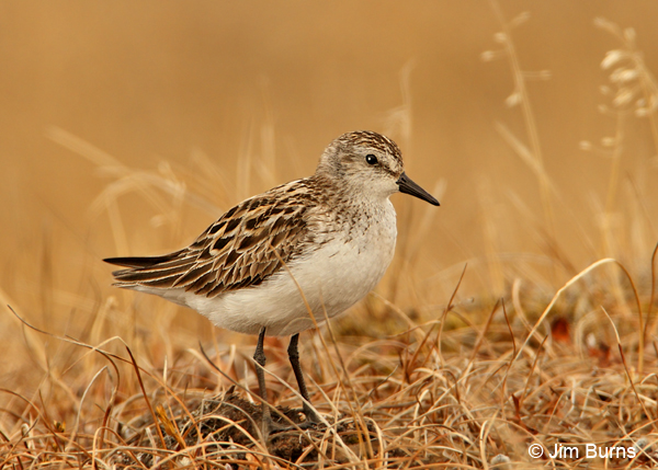 Semipalmated Sandpiper alternate plumage