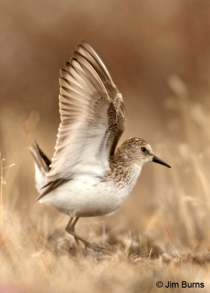 Semipalmated Sandpiper wingstretch on tundra