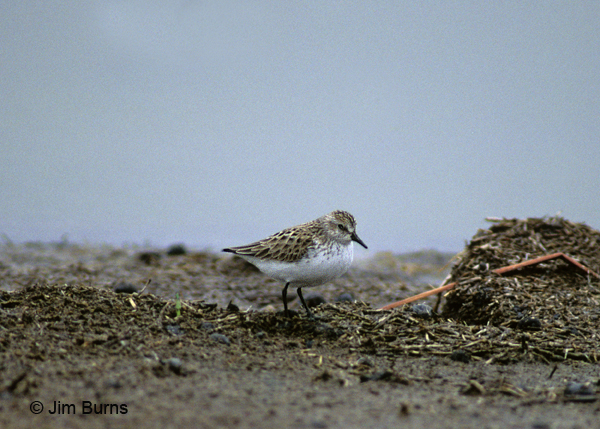 Semipalmated Sandpiper basic plumage