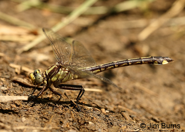 Septima's Clubtail female, Montgomery Co., NC, May 2017