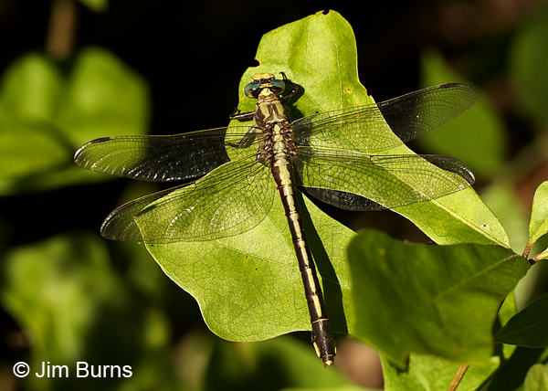 Septima's Clubtail female dorsal view, Alamance Co., NC, May 2017