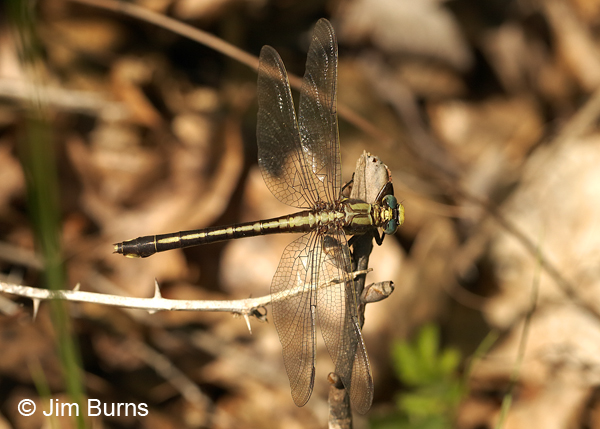 Septima's Clubtail female dorsal view, Montgomery Co., NC, May 2017