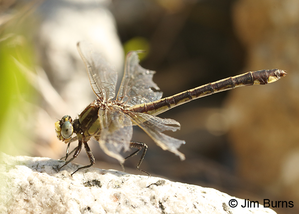 Septima's Clubtail female with tattered wings, Alamance Co., NC, May 2017