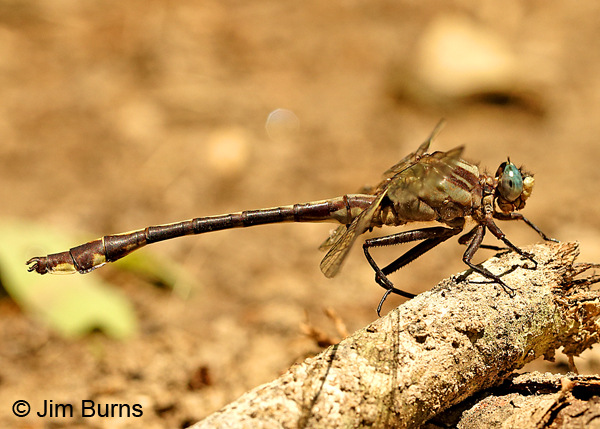 Septima's Clubtail male, Alamance Co., NC, May 2017