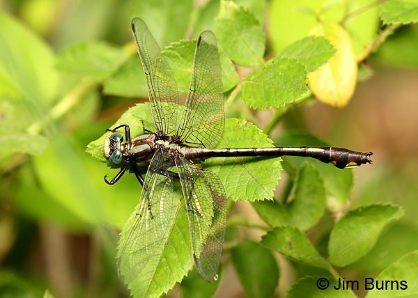 Septima's Clubtail male dorsal view, Alamance Co., NC, May 2017