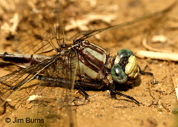 Septima's Clubtail male face and thorax, Montgomery Co., NC, May 2017