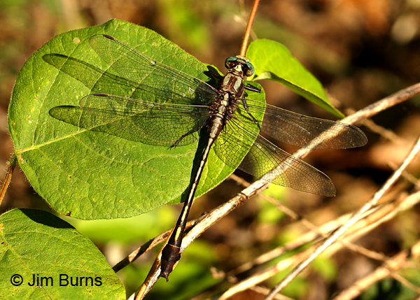 Septima's Clubtail male wing shadow, Alamance Co., NC, May 2017