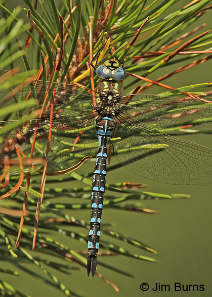 Shadow Darner female dorsal view close-up, Klamath Co., OR, August 2015