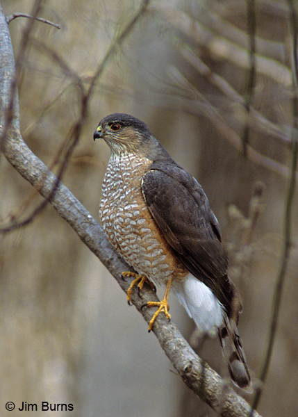 Sharp-shinned Hawk adult on branch