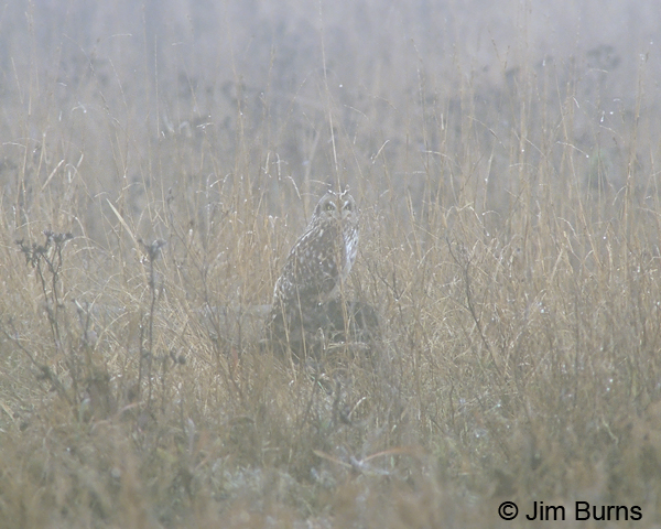 Short-eared Owl field and fog