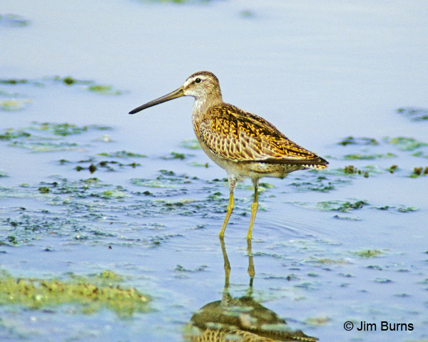 Short-billed Dowitcher juvenile