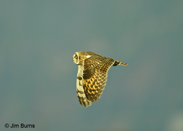 Short-eared Owl wing clap