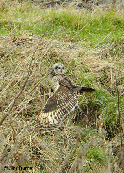 Short-eared Owl mantling prey