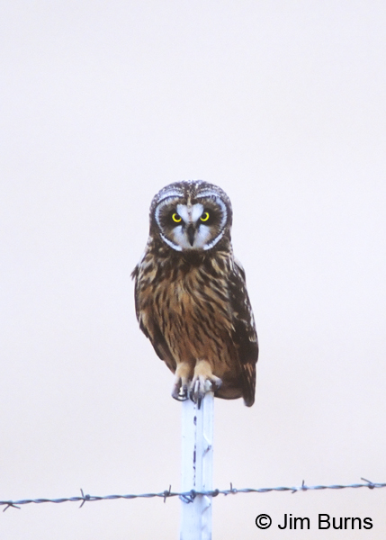 Short-eared Owl on fence