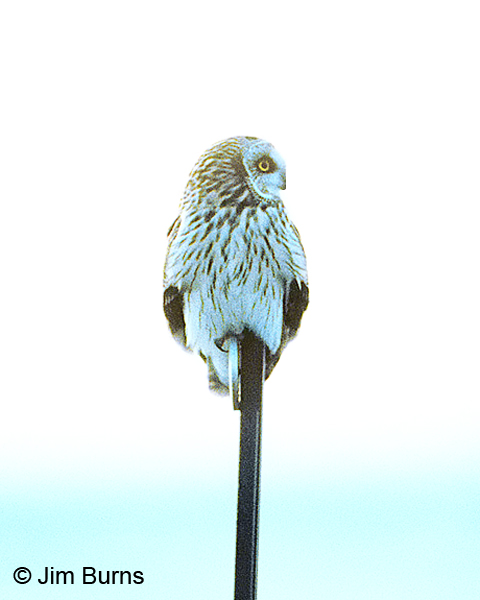 Short-eared Owl on highway reflector
