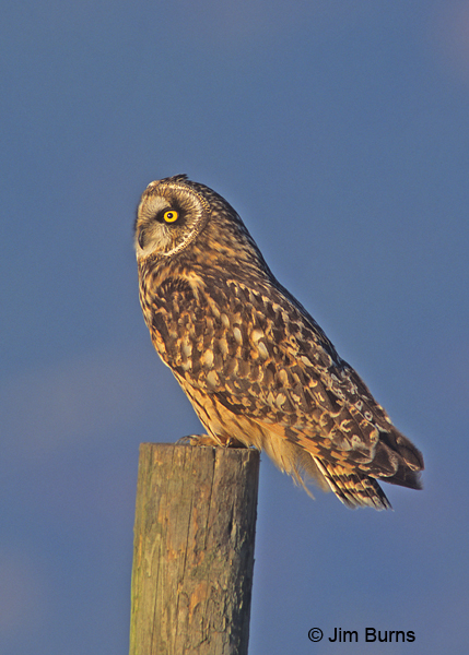 Short-eared Owl on post