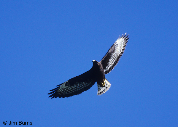 Short-tailed Hawk dark morph in flight