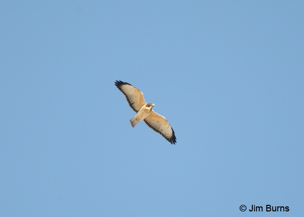 Short-tailed Hawk light morph in flight
