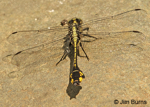 Skillet Clubtail male dorsal view of club, Eau Claire Co., WI, June 2014