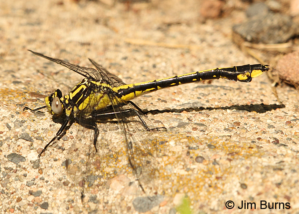 Skillet Clubtail teneral male, Washington Co., MN, June 2014
