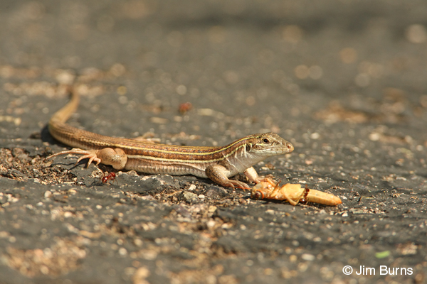 Sonoran Spotted Whiptail with grasshopper