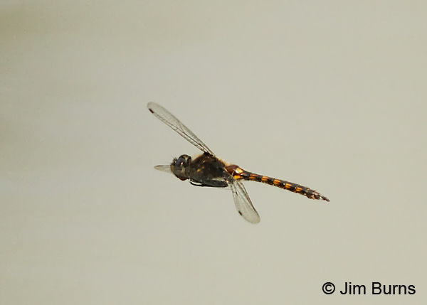 Slender Baskettail male in flight, Mecklenburg Co., NC, May 2014