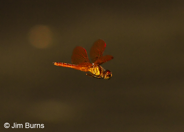 Slough Amberwing male in flight, Uvalde Co., TX, August 2013