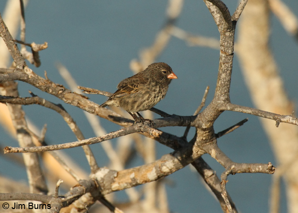 Small Ground-Finch female