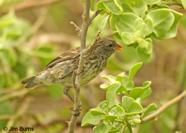 Small Tree-Finch female