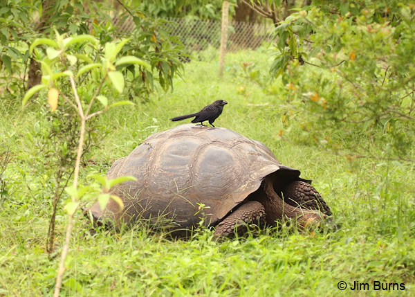 Smooth-billed Ani on Giant Tortoise