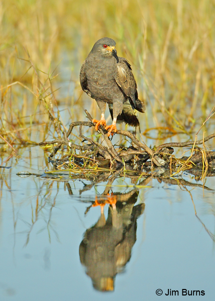Snail Kite male reflections