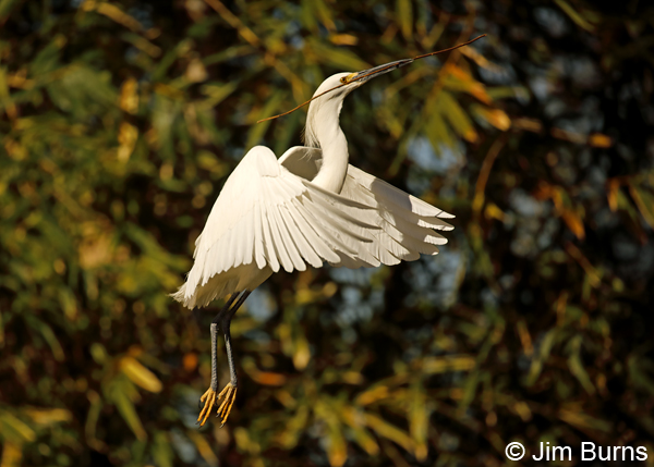 Snowy Egret with nesting material 6696