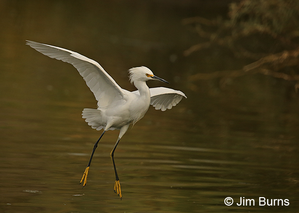 Snowy Egret coming to roost