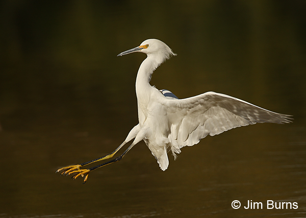 Snowy Egret dropping in