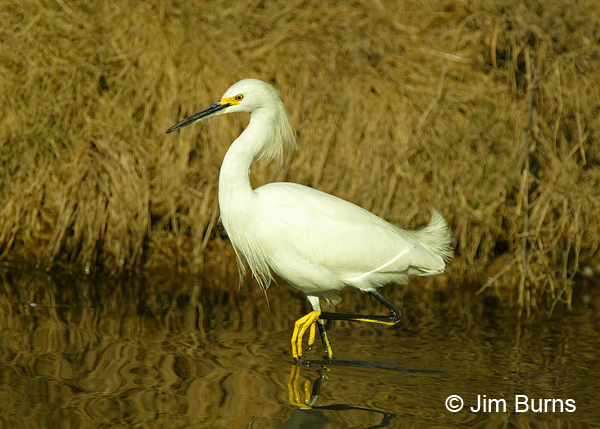 Snowy Egret golden slipper