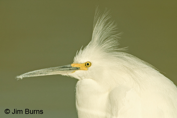 Snowy Egret head shot