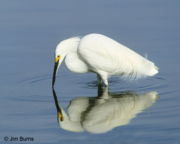 Snowy Egret reflections
