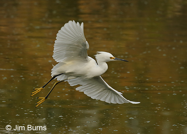 Snowy Egret showing off two-toned legs